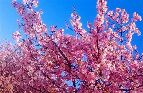 i fiori di ciliegio i fiori di ciliegio sono appena sbocciati in