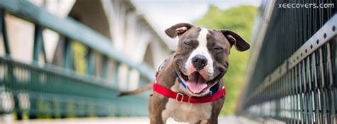 pitbull laughing fb cover photo xee fb covers