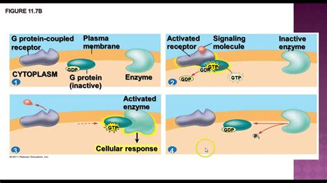 cell communication diagram ap biology cell communication