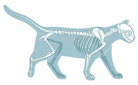 how many bones does a how many bones are in a cat skeleton and other fascinating facts