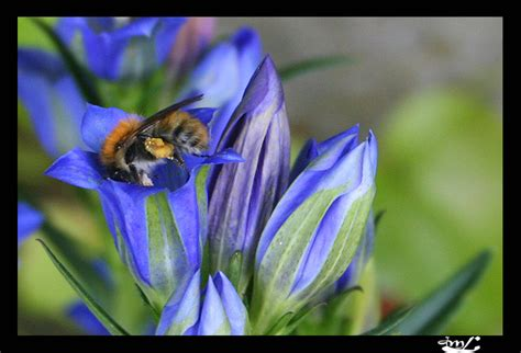 Bonjour Michel White Floral treknature bee on gremils flower photo