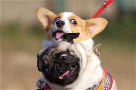 corgi pugs 21 pug and corgi best friends who will be the thing that melts the