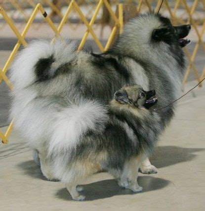 wolf pomeranian wolf pom and kheeshond pomeranians wolves pomeranians and search