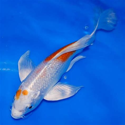 koi fish sale 7 cool koi fish for sale in miami biological science picture directory