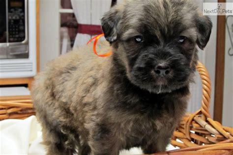 bouvier des flandres puppies for sale bouvier des flandres puppy for sale near southeast missouri missouri d689f1aa 9c11