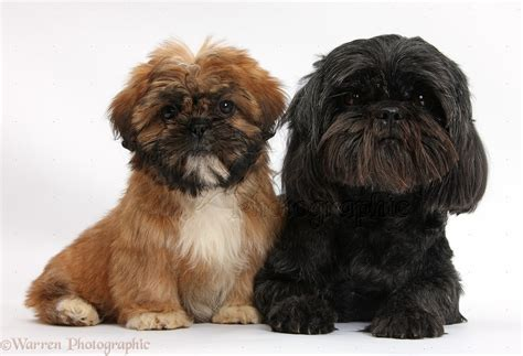 shih tzu puppies black and brown dogs brown shih tzu pup and black shih tzu photo wp38318