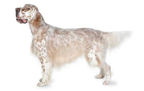 english setter apartment dog 20 super friendly dog breeds dogtime
