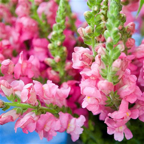 Flowers 101 Snapdragons by Instyle Wedding Flowers 101