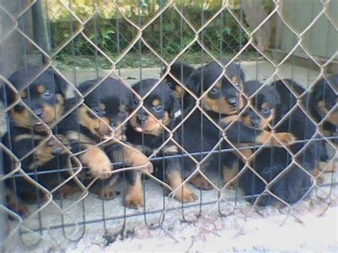 rottweiler puppies malaysia rottweiler puppies for sale adoption from johor muar bandar maharani adpost