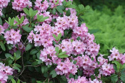 New Azalea black gold when is an azalea a rhododendron