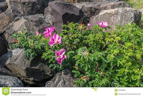 hardest flower to grow hard and soft stock photo image 54420265