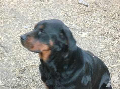 blooded rottweilers for sale blooded rottweiler puppies no papers for sale in larchland illinois classified