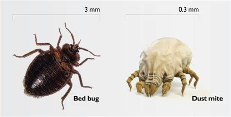 Bed Bug Dust by Dust Mites Or Bed Bugs Facts About Dust Mite Bites Plus