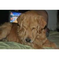 golden retriever breeders usa golden retriever breeders in virginia freedoglistings breeds picture