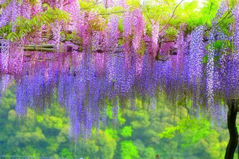 wisteria fuji scenery pinterest