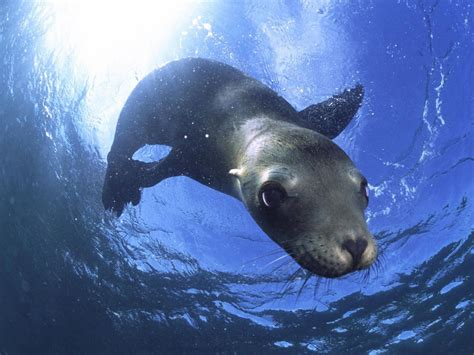film with sea lion in animals california sea lion baja california mexico