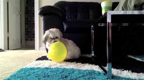 i got a puppy i got a puppy vs balloon