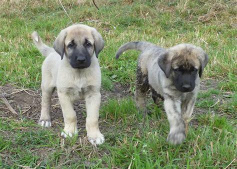 anatolian dogs anatolian shepherd breed guide learn about the anatolian shepherd