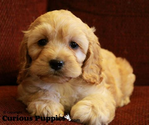 cockapoo puppies for sale in curious puppies pups for sale puppies for sale in ontario canada curious puppies