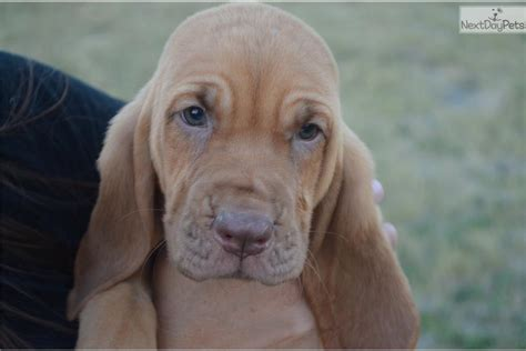 bloodhound puppies prices sassy bloodhound puppy for sale near dallas fort worth 9d5d4cd1 49f1