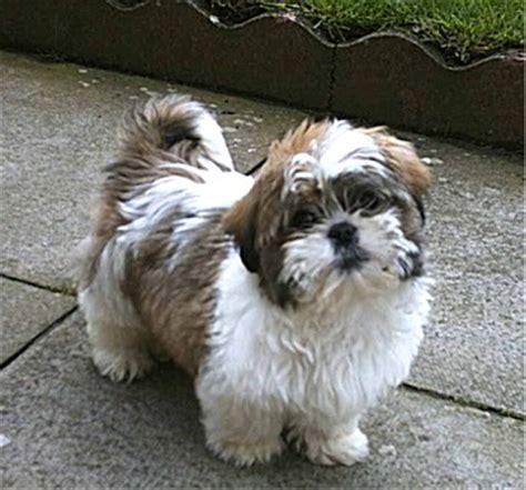 raza shih tzu precio comportamiento de la raza de perro shihtzu