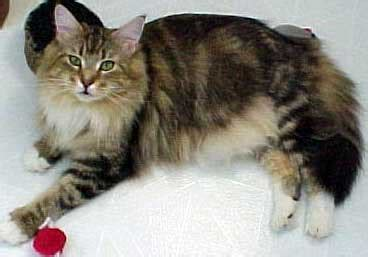 Kucing Growssy Maine Coon Cat All Pet News