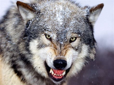 wallpaper wolf wallpapers wolf in winter wallpapers