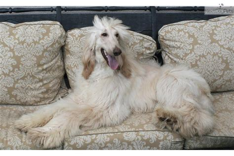Afghan Hound Puppy Available Komar Afghan Hounds Afghan Hound Breeds Picture