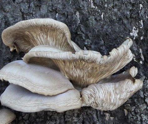 shelf mushrooms flickr photo