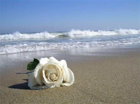 imagenes rosas en el mar kino maj 225 n cultivo una rosa blanca