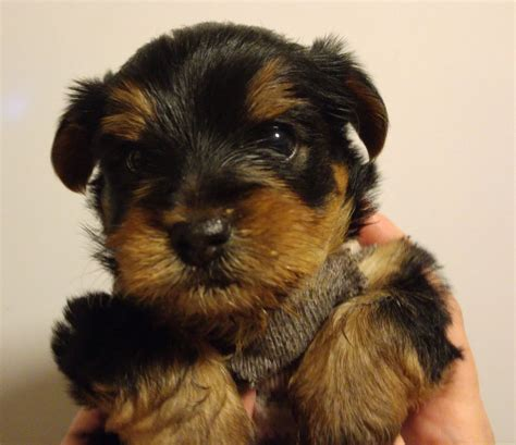 kc yorkies high quality kc registered terrier puppy newcastle upon tyne tyne and