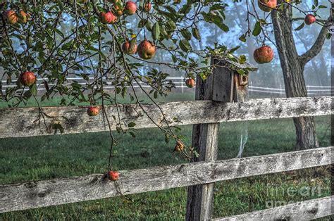 backyard apple tree backyard apple tree photograph by krista hott