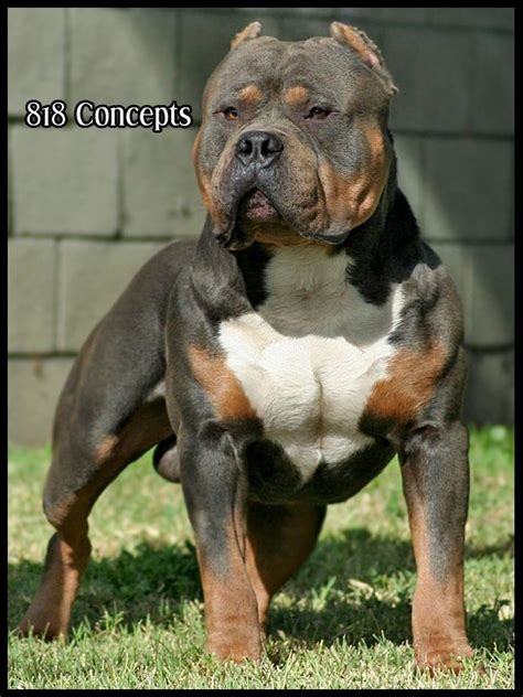 tri color american bully one day i will tri color american bully i