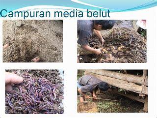 Bibit Belut Bandung belut budidaya teknik budidaya belut