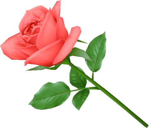 rose can rose png flower images free download