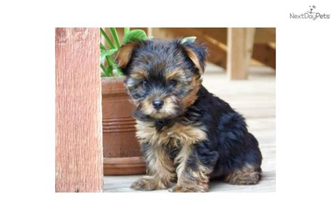 teddy cut yorkie teddy puppies in ohio breeds picture