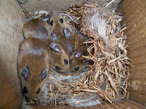 field mice occupying blue bird nest box crane s mill blog