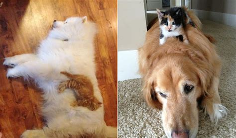 pillows for small dogs cats who use dogs as pillows purrtacular
