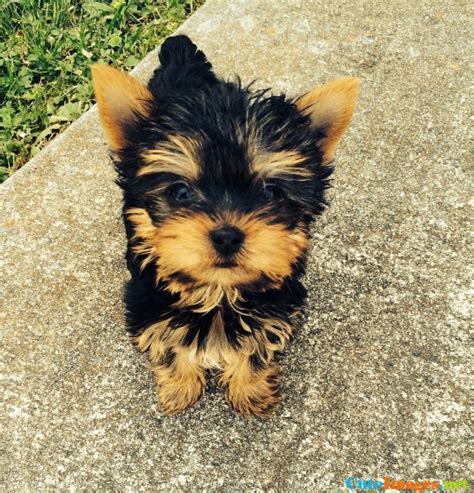 puppy names for yorkies our nine week yorkie carley wallpaper cuteimages net