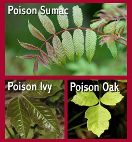 identify poison ivy leaves how to identify poison oak poison ivy and poison sumac