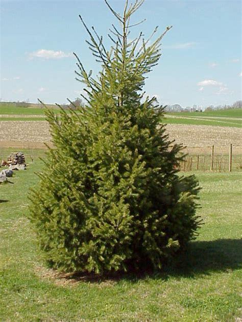 fir tree douglas fir tree immagini