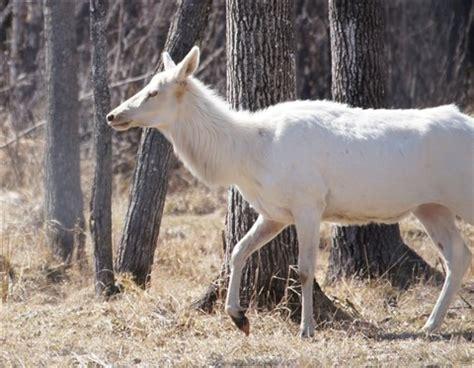 albino elk: diane63: galleries: digital photography review