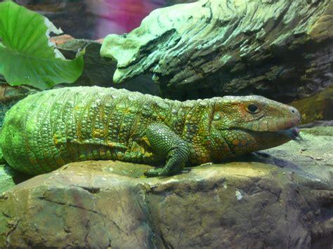 caiman lizard? - Reptile Forums