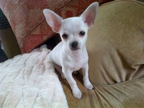white chihuahua puppies tiny white chihuahua puppy plymouth pets4homes