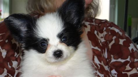 papillon puppies for sale adorable kc registered papillon puppies for sale gillingham dorset pets4homes