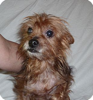 is toto a yorkie toto adopted port clinton oh yorkie terrier terrier unknown