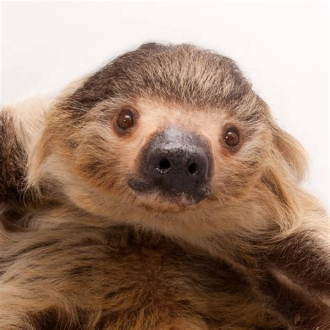 hoffmans  toed sloth national geographic