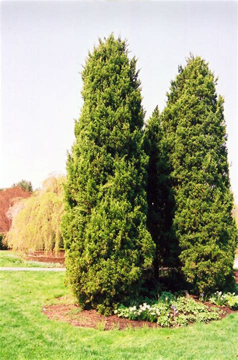 eastern redcedar juniperus virginiana  richmond