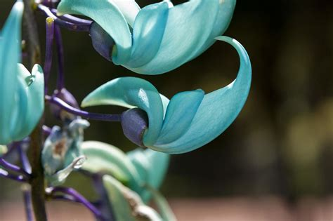 Tanaman Jade Vine top 10 most beautiful flowers in the world