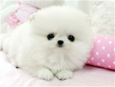 pomeranian puppy for adoption in delhi tiny teacup pomeranian puppies for adoption